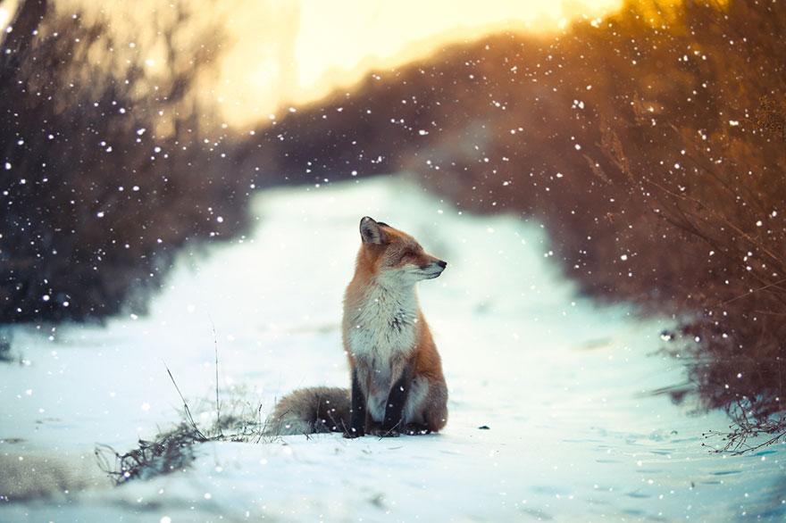 winter-fox-photography-73-5853ec79b4e28__880