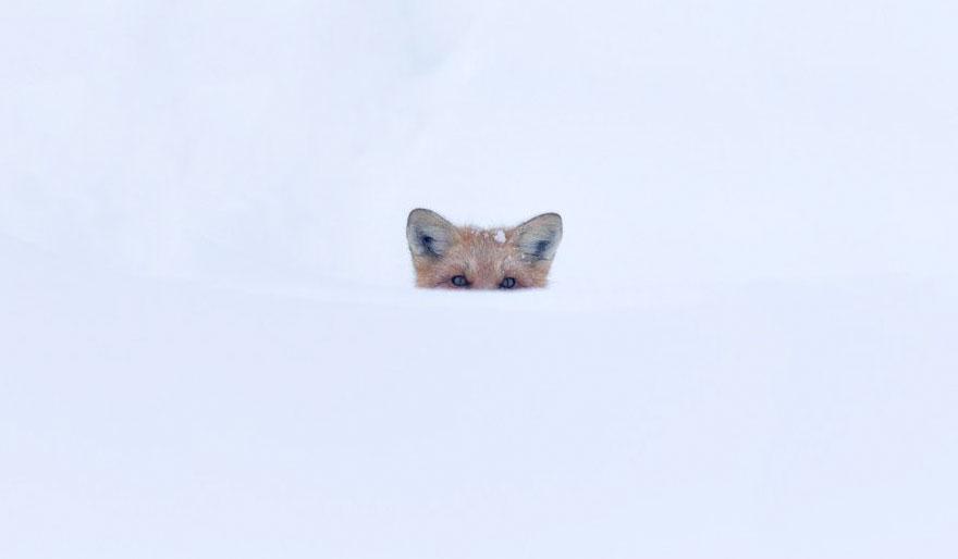 winter-fox-photography-76-5853ef8d63995__880