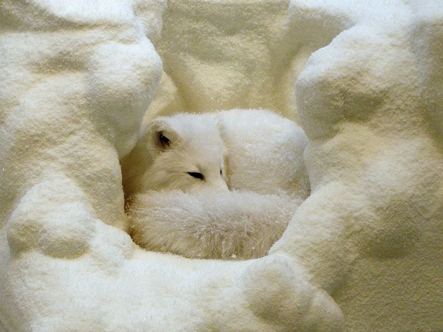 winter-fox-photography-78-5853f2107a438__880