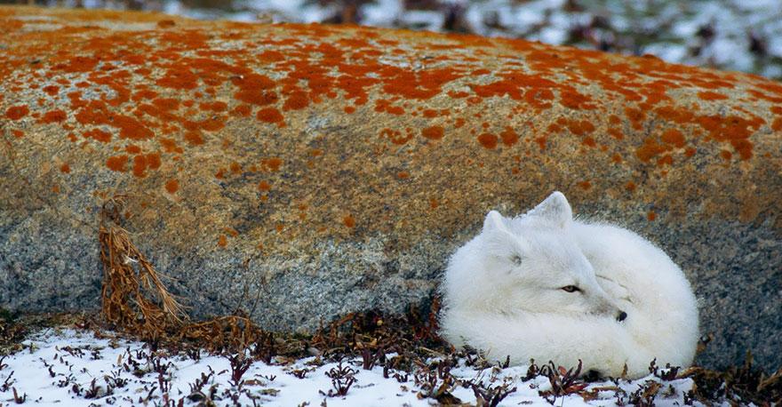 winter-fox-photography-83-5853c28b3e764__880