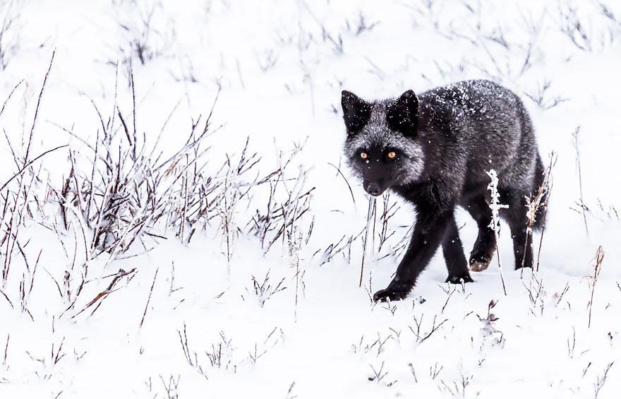 winter-fox-photography-85-5853ffe7c6ea7__880