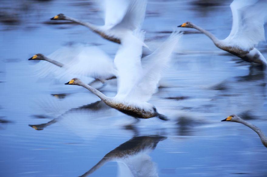 лебеди в Японии