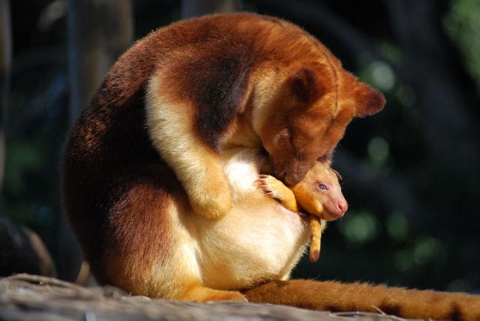 валлаби древесные кенгуру