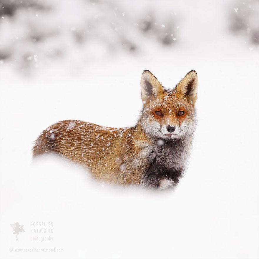 зимний лисец