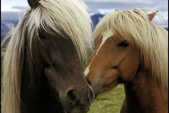 Лошадей на острове гораздо больше, чем людей, почти все коренастые, родной исландской породы, безумно любопытные. Завидев человека, сразу бегут знакомиться.