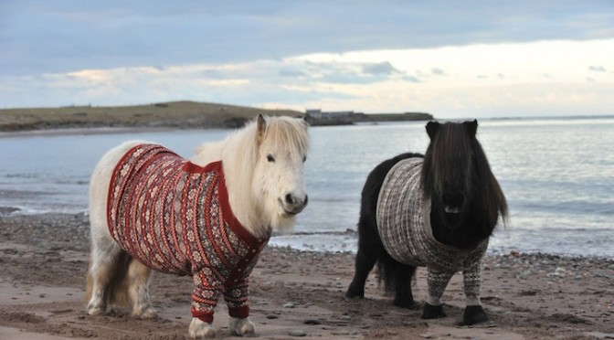 Шетландские пони в рекламе Шотландии