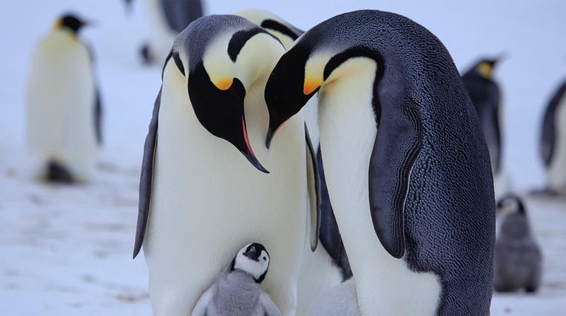 пингвинья семейка